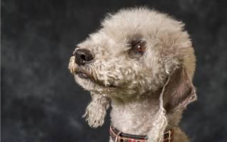Породы собак для аллергиков