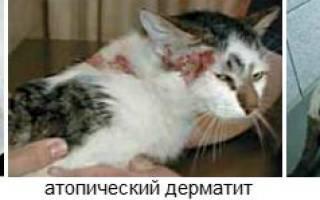 Лечение аллергии у кошек
