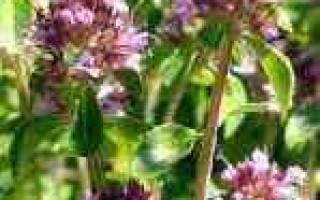 Аллергия на чабрец симптомы