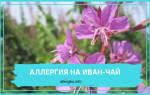 Иван чай аллергия