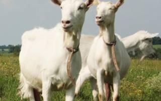 Казеин в козьем молоке: польза и вред