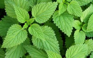 Лечение аллергии крапивой