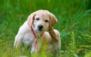 Кларитин для собак